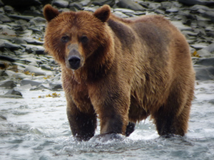 alaska10 - Alaska Salmon Run Adventure 20 Days