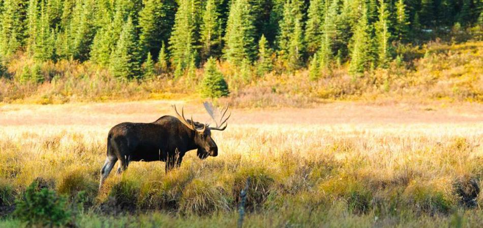 Vancouver Island Moose