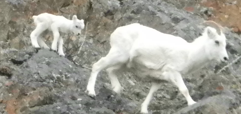 Seward Cruz Mountain Goats