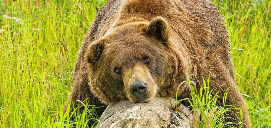 Turnagain Arm Bear